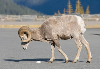 A Ram in the parking lot