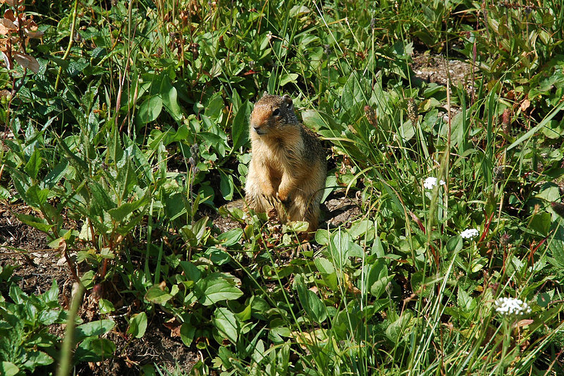 Ground squirrel. Photo by Helen