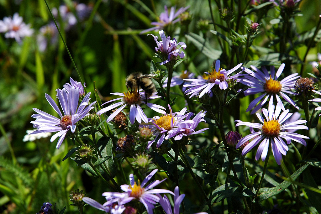 Flowers and a bee. This is one of the few close up shots that came out good. Still getting use to the new camera.