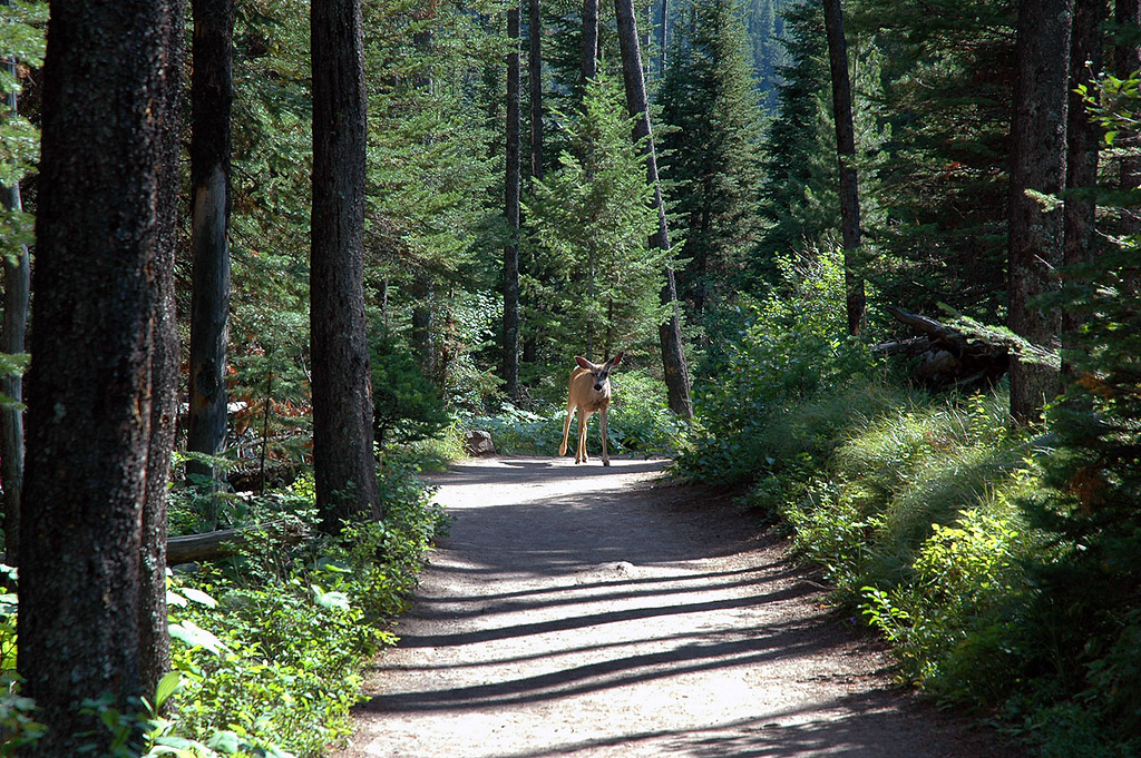Deer on the trail. At this point we have seen a few animals, but no bears yet.