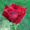Red rose flower.
