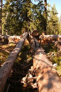 INTERESTING  LOGS  NEAR  THE YELLOWSTONE  RIVER TRAIL