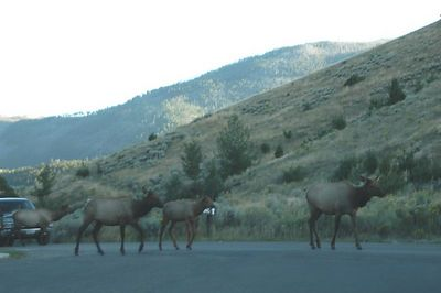 THIS ELK HERD  RAN IN FRONT OF  MY CAR