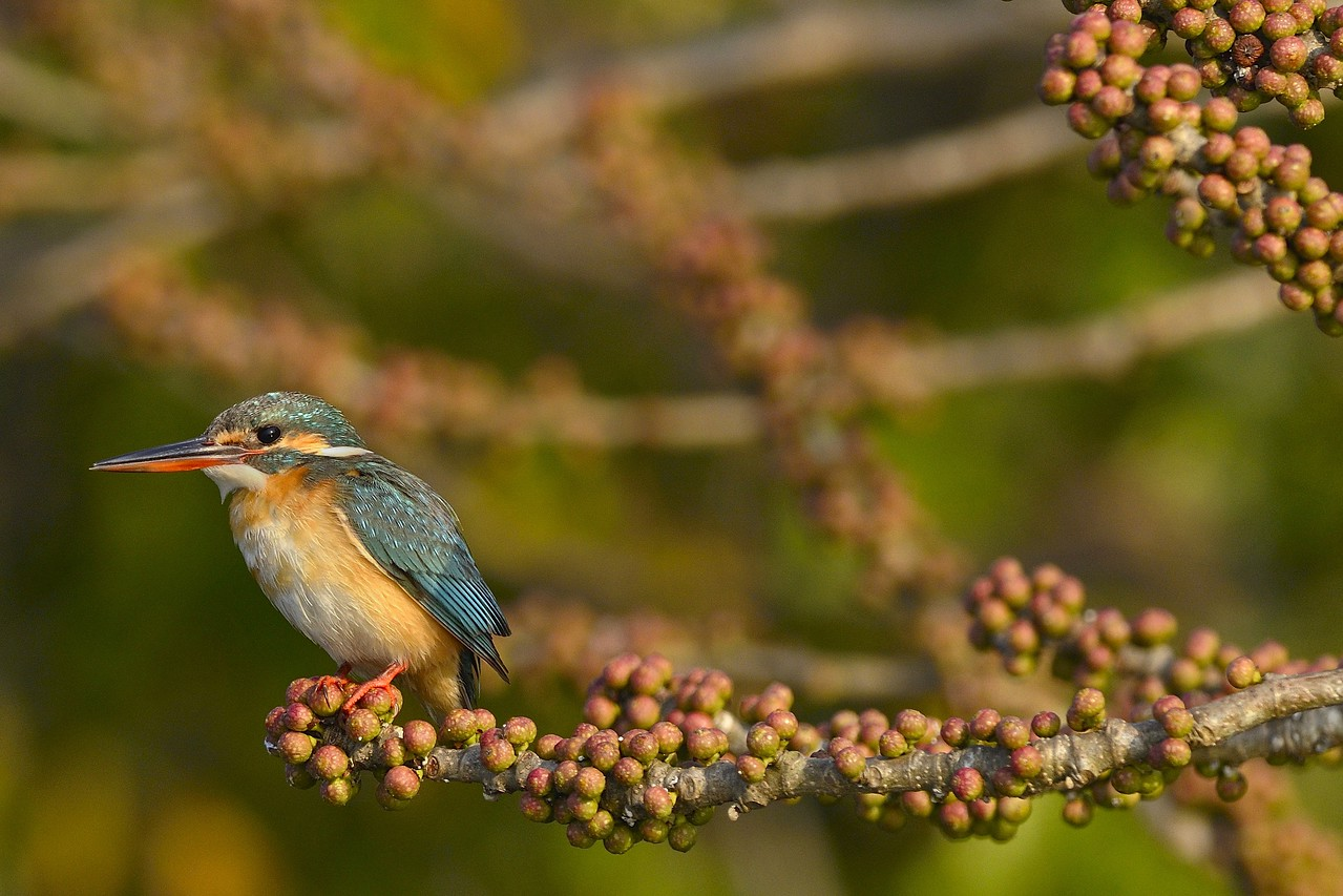 On a fruity perch - Common Kingfisher