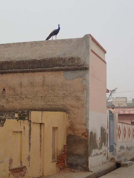 Peacocks were sort of randomly everywhere in Rajasthan.