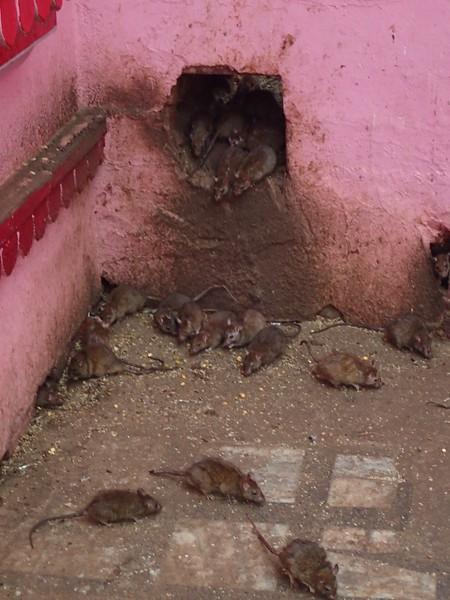 Karni Mata Temple in Deshnok. Also known as the Rat Temple.
