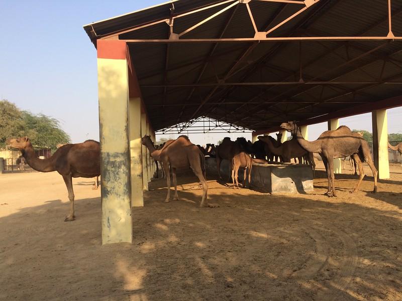 I visited camel research station outside of Bikaner