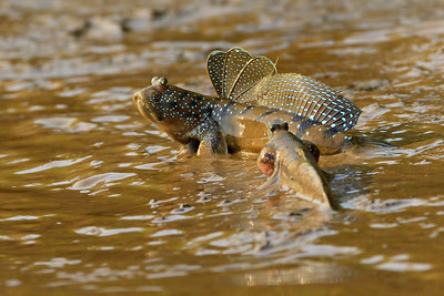 Mudskippers - Display to attract the female