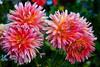 Pink Dahlia Blooms - Cape Porpoise Maine - Photo by Pat Bonish