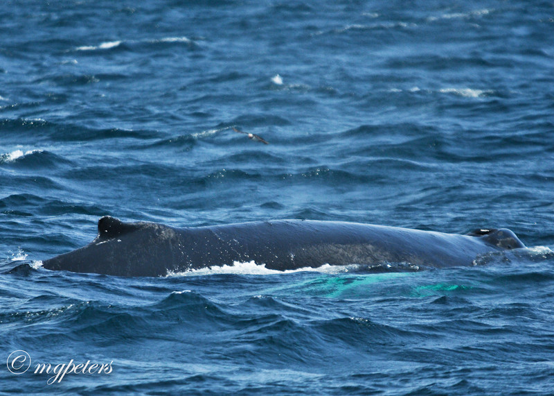 Whales-Cape Spear-24