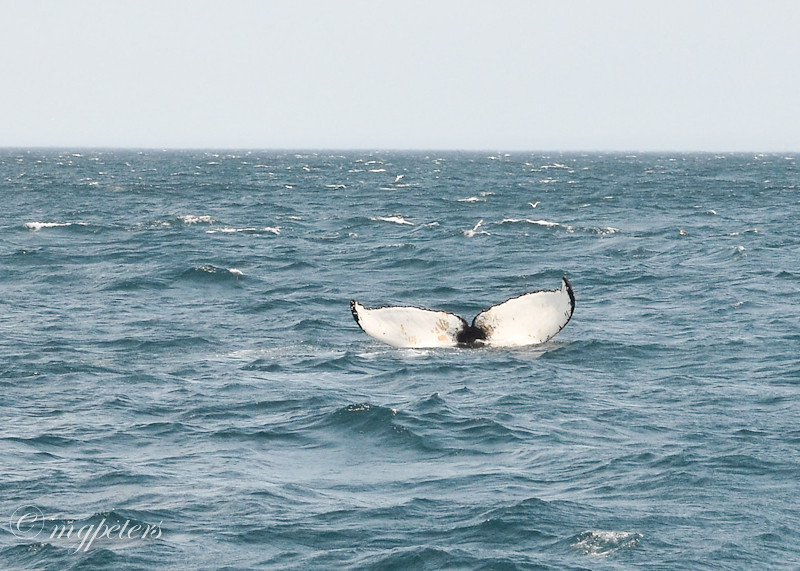 Whales-Cape Spear-2