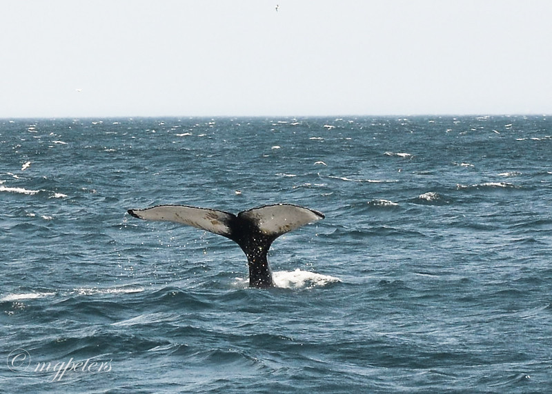 Whales-Cape Spear
