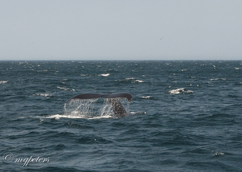 Whales-Cape Spear-13