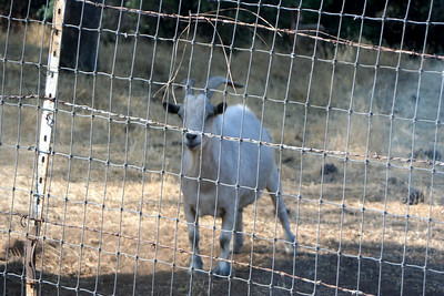 7/8/07 Goat! @farm/ranch on Jackass Hill Road, enroute to Mark Twain Cabin. Off Hwy 49 (Mother Lode Hwy), Central Sierra Foothills, Tuolumne County, CA