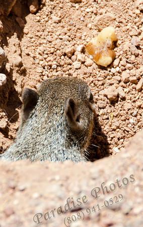 Prairie Dog  walnut 0512 493