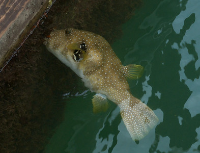 La Cruz de Huanacaxtle April 2013  One of the many species of puffer fish feeding off of the dock side goodies.