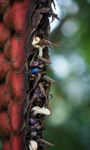 Blue Heliconia Seed
