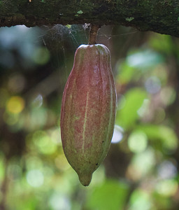 Cacao, the Source of Wonderful Chocolate