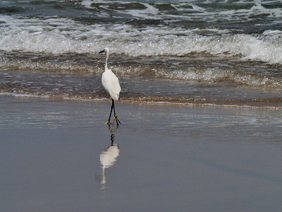 June 2012 Beaches of Mazatlán  Little egret.