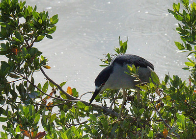 June 2012 Yugo Estuary Black crowned night heron