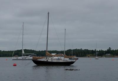 Flotilla of Common Mergansers (Mergus merganser)