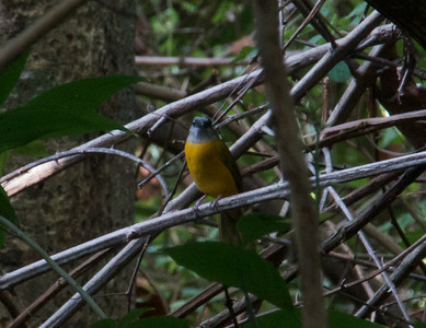 Gray-headed Tanager (Eucometis penicillata)