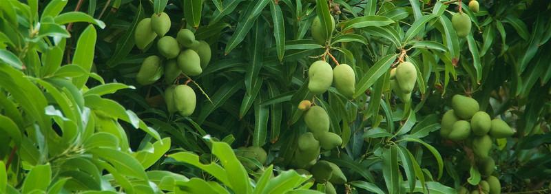 Wild Mangoes!