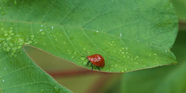 Leaf Beetle (Argopus brevis)