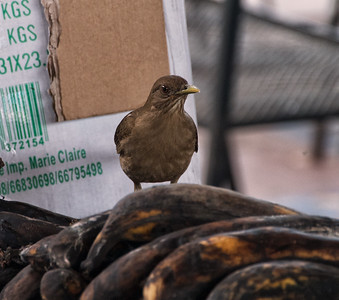 Clay-colored Thrush (Turdus grayi) Stealing Plantains