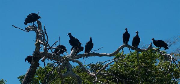 Black Vultures (Coragyps atratus)