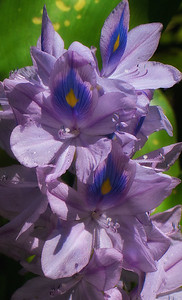 Water Hyacinths ( Eichhornia crassipes )