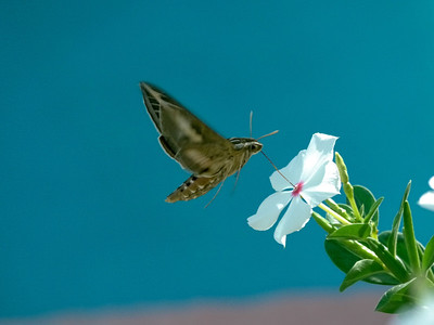 La Paz November 2012  Hummingbird moth.   Photo by Bryan oneeyeblink.smugmug.com