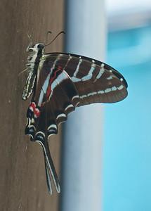 Crucecita, Oaxaca, Mexico May 2013  Swallow tail.