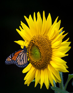 Monarch Butterfly on Sunflower