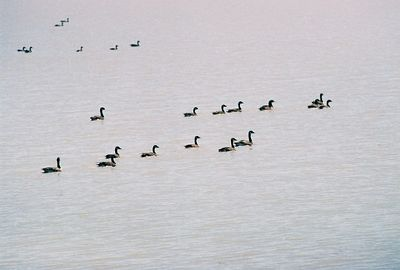 7/3/05 Canada Geese (Branta canadensis). Goose Lake from Cty Rd 48 (Causeway), Modoc County, CA