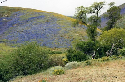 Bentham Lupines (Lupinus benthamii) and CA Poppies