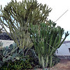 Cactus growing in Puerto Rico, Gran Canaria, Canary Islands.