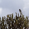 Bird on a cactus...