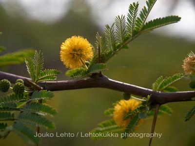 Keltainen mimosa - Yellow minosa