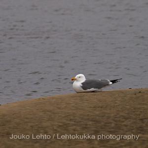 Lokki - Seagull