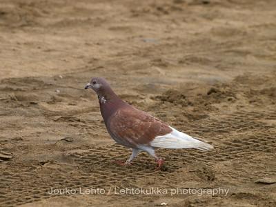 Kyyhkysiä - Pigeons