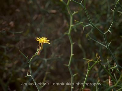 Pensasrisuvalvatti - Launaea arborescens