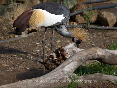 Etelänkruunukurki - Grey Crowned Crane, Balearica regulorum: Palmitos park, Gran Canary