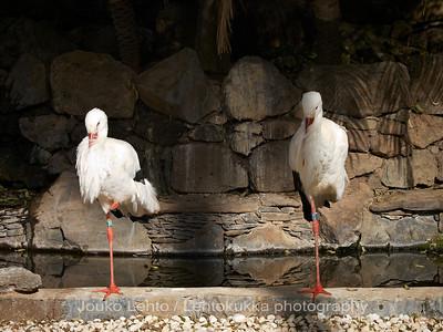 Kattohaikara - White Stork: Palmitos park, Gran Canary