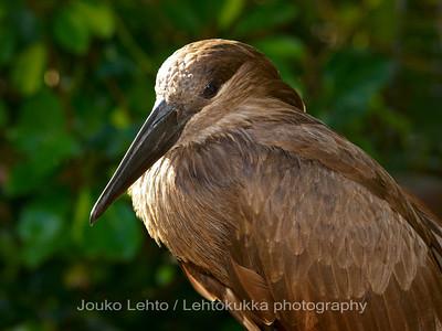 Vasarapäähaikara - Hamerkop: Palmitos park, Gran Canary