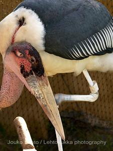 Marabou: Palmitos park, Gran Canary