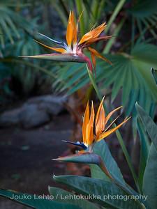 Strelitzia. Palmitos park, Gran Canary