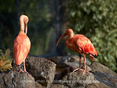 Rubiini-ibis - Scarlet Ibis: Palmitos park, Gran Canary