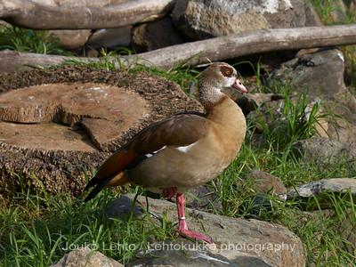 Afrikanhanhi - Egyptian Goose: Palmitos park, Gran Canary