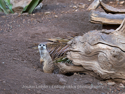 Nelisormimangusti - Meerkat: Palmitos park, Gran Canary